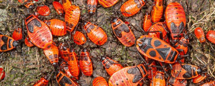 Nimfen en volwassen exemplaren van de vuurwants, zonnend op een stukje hout