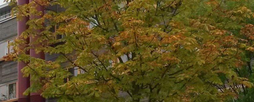 Bladeren van de witte paardenkastanje meer dan de helft verkleurd.