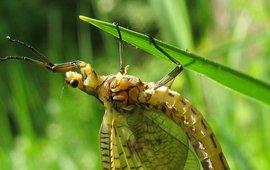 Groene eendagsvlieg. Ephemera danica