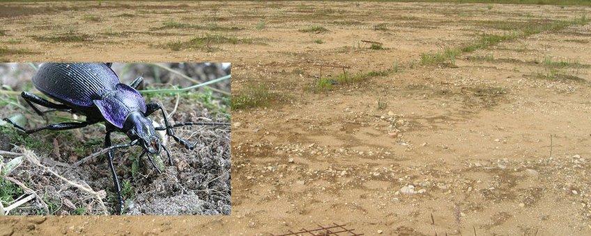 Potval op Reijerscamp, met Carabus problematicus