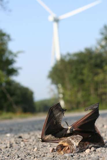 A dead hoary bat next to a wind turbine