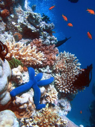 Coral reef with blue linckia starfish