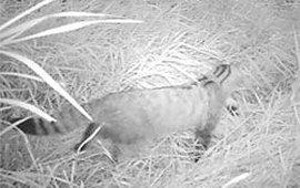 opname van wilde kat in smeetshof in limburg