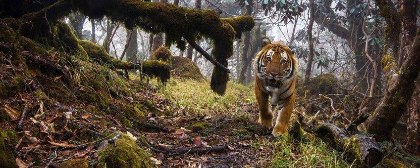 Tijger in Bhutan WWF UK