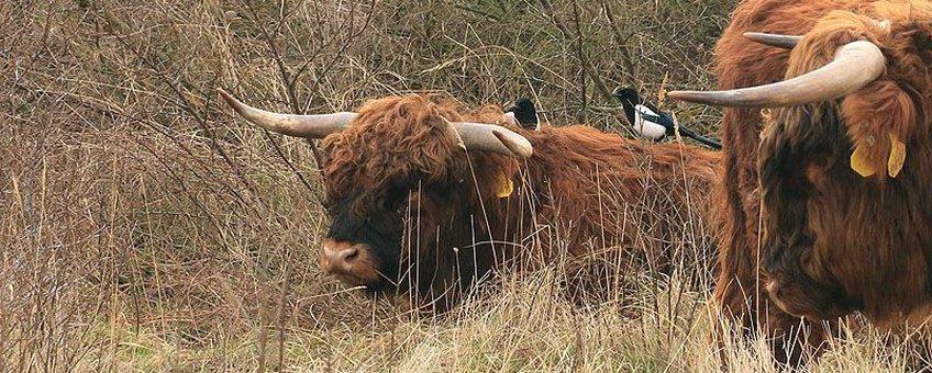 Eksters op de rug van een Schotse Hooglander stier