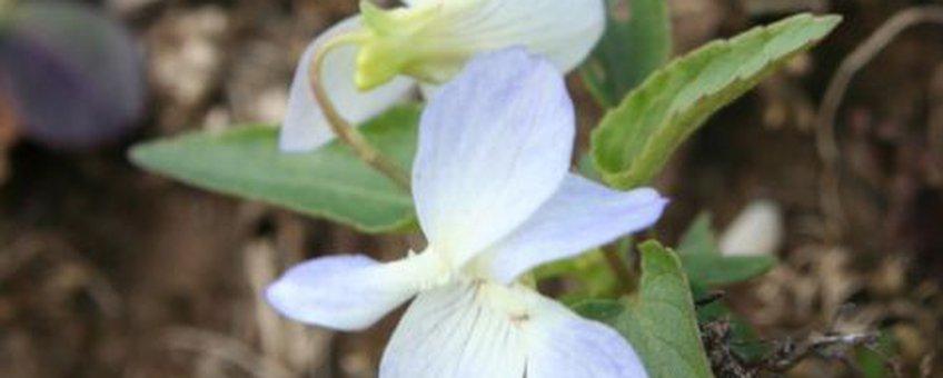 Melkviooltje (var lacteoides)