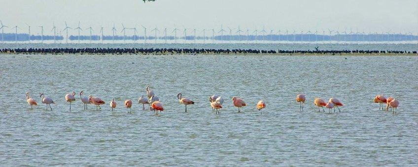 flamingo's, op de achtergrond aalscholvers en windmolens