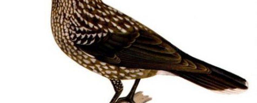 Scanned from Svenska fåglar, no copyright