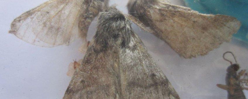Verse eikenprocessievlinders van eikenprocessierups, 30 september 2010  - Gemeente Dalfsen