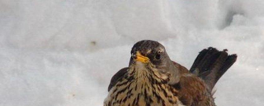 kramsvogel in sneeuw wikipedia GNU