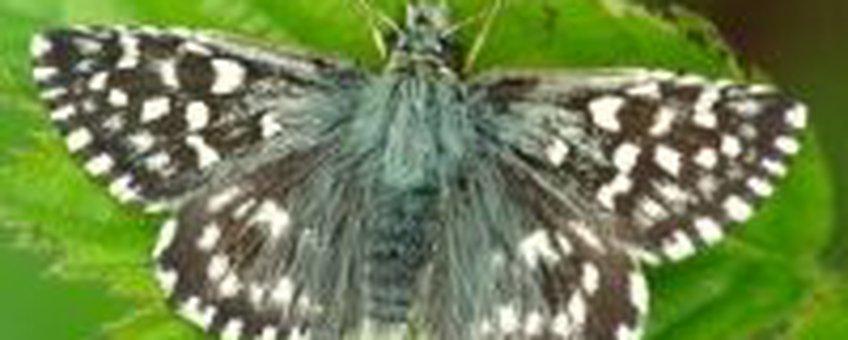 Aardbeivlinder (1) (foto: Henk Bosma)