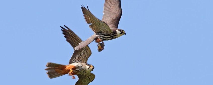 Prooioverdracht boomvalk: mannetje heeft prooi net overgedragen aan vrouwtje die ermeen naar jongen vliegt