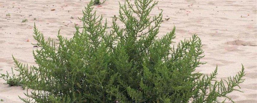 Welriekende ganzenvoet op rivierstrand bij de Millingerwaard. bron Willem Braam.