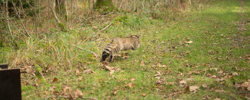 Wilde kat rent weg na zenderen