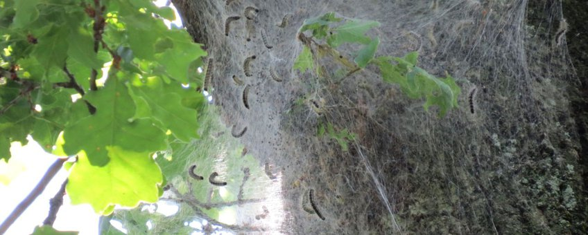 Nest eikenprocessierups in Noord-Limburg op 23 mei 2014