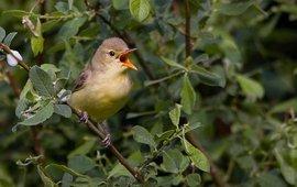 Zingende spotvogel