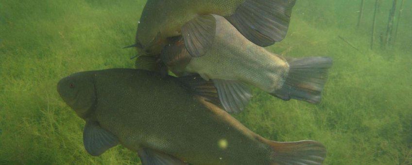 Twee mannetjes zeelten, herkenbaar aan de meer afgeronde buikvin, draaien tijdens de paai onophoudelijk om het vrouwtje heen.