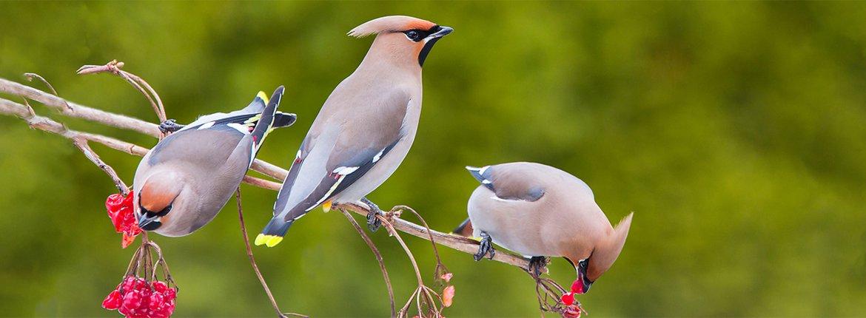 Pestvogel  bes / Shutterstock