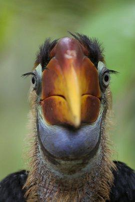 Sulawesi Neushoornvogel / Barend van Gemerden
