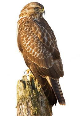 Buizerd / Rob Kempers