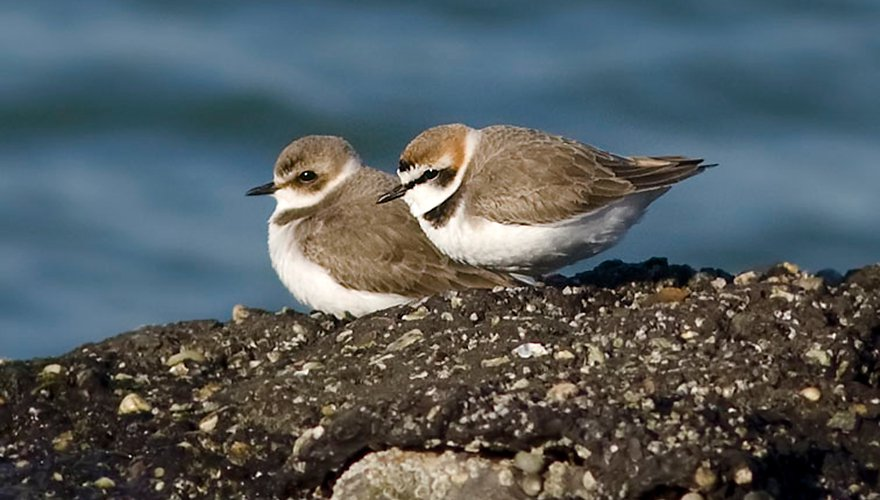 Strandplevier / Vogeldakboek - Adri de Groot