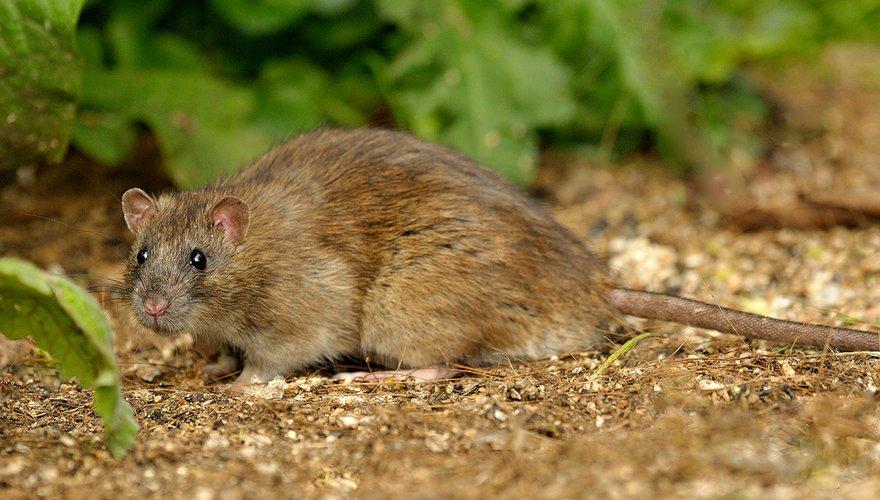 Bruine rat / Jelle de Jong