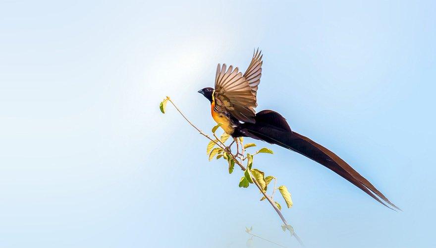 Long-tailed Paradise Whydah / Shutterstock