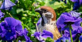 Ringmus tussen viooltjes / Shutterstock