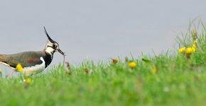 Kievit met worm / Shutterstock