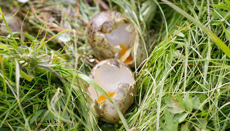 Predatie grutto eieren / Jouke Altenburg