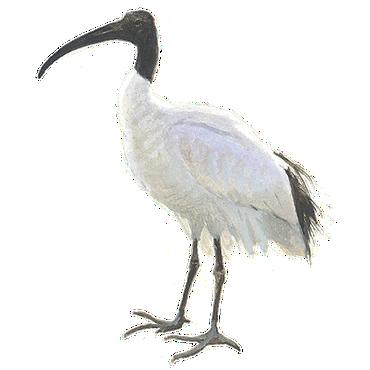 Heilige ibis / Elwin van der Kolk