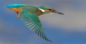 IJsvogel Leplaarplassen / Harry Jamont