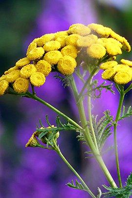 Boerenwormkruid / Pixabay