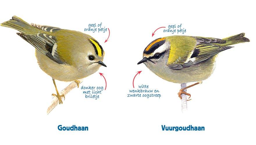 Infographic goudhaan - vuurgoudhaan