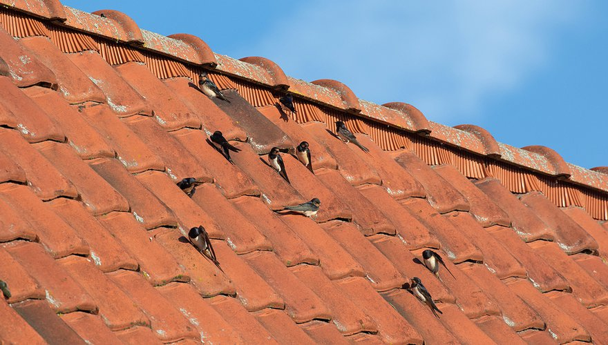 Boerenzwaluwen op dak / Jouke Altenburg