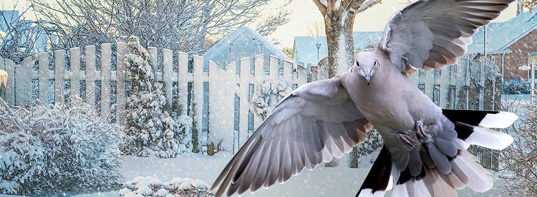 Turkse tortel in sneeuw / Shutterstock