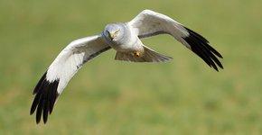 Blauwe kiekendief / Birdphoto