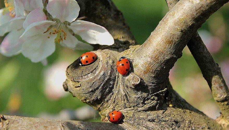 Lieveheersbeestje in tuin / Shutterstock