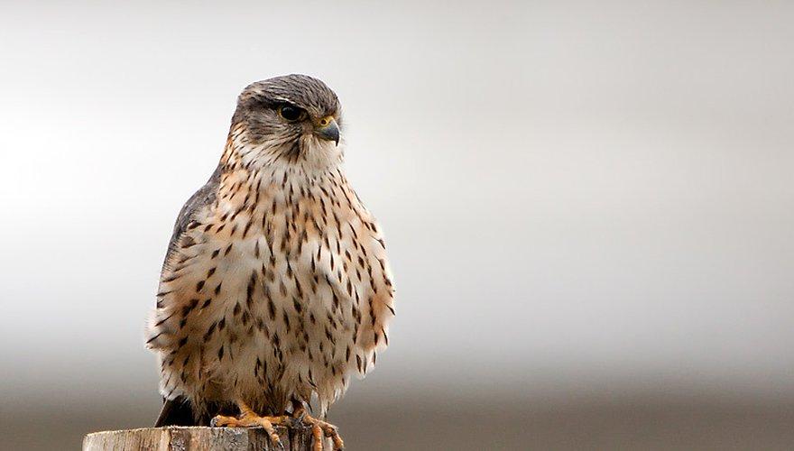 Smelleken / Birdphoto