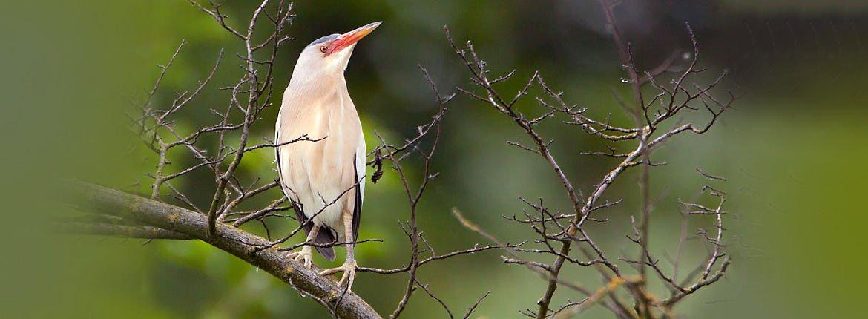 Woudaap / Birdphoto