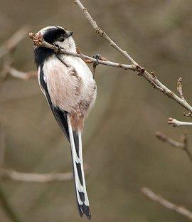 Staartmees / Birdphoto