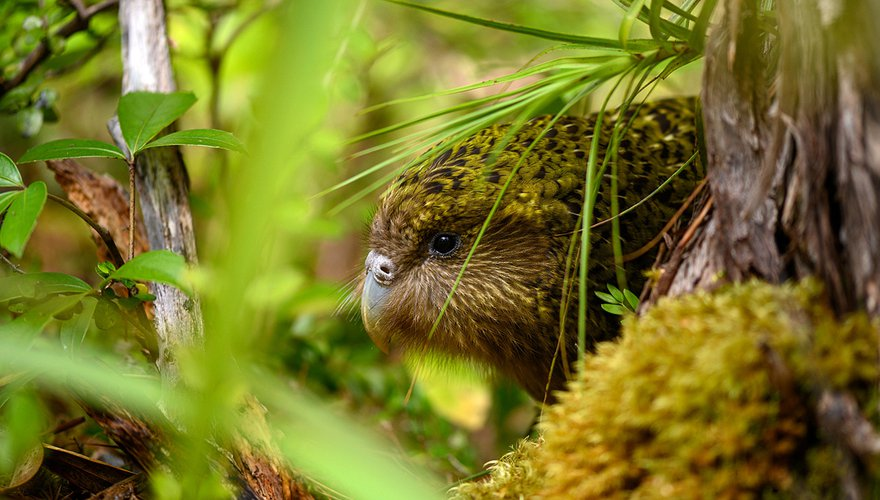Kakapo / Jake Osborne - Flickr.com