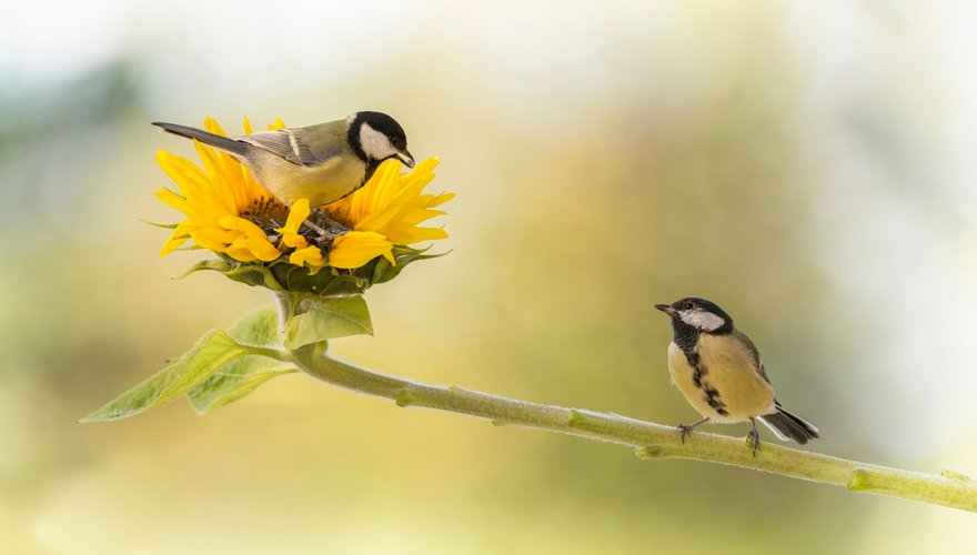 Vogeltuin koolmees / Shutterstock