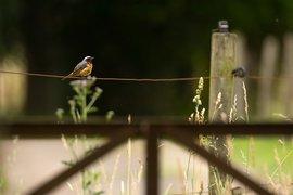 Gekraagde roodstaart / Hans Peeters
