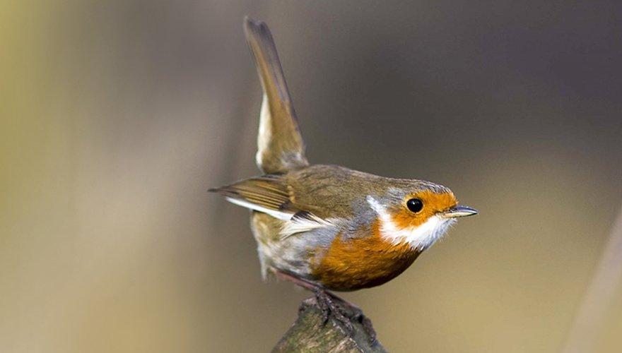 Roodborst (santa) / Ian W. (vogelweb)