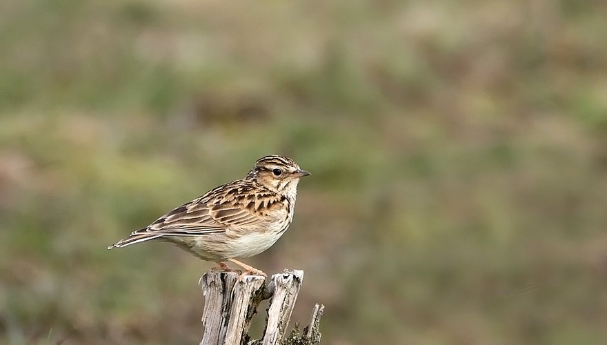 Boomleeuwerik / Birdphoto