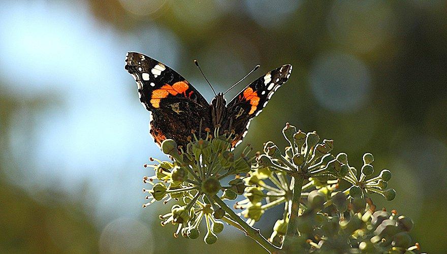 Atalanta  op klimop / Pixabay