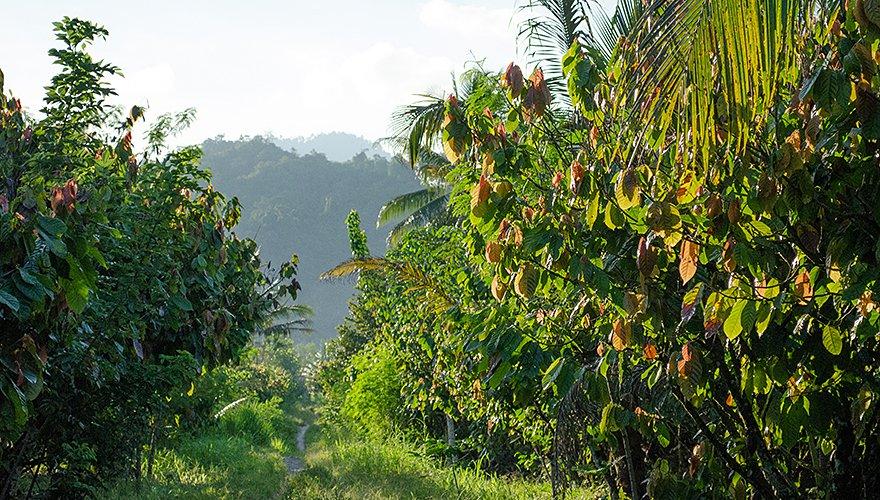 Cacaoplantage / Hans Peeters