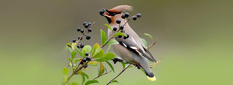 Pestvogel op liguster / Birdphoto