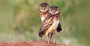 Arubaanse holenuil / Aruba BirdLife Conservation